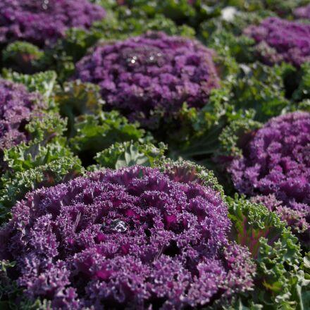 purple cauliflower, vegetables, flower, Panasonic DMC-L1