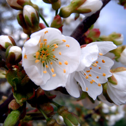 white, petaled, flower, Fujifilm FinePix Z70