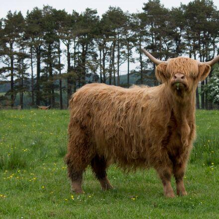 scottish hochlandrind, highland beef, Pentax K-50