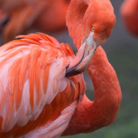 flamingo, orange, wild, Canon EOS 6D