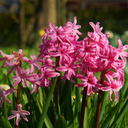 hyacinth, flowers, blue, Sony SLT-A99V