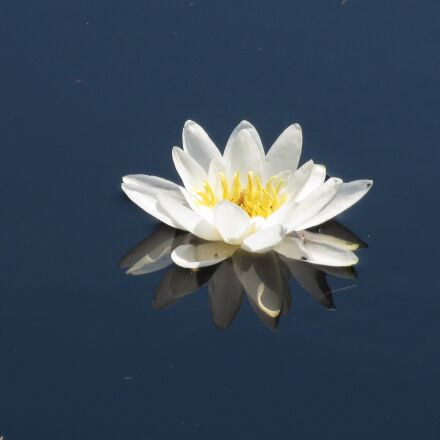 water lily, water flower, Canon IXUS 500 HS