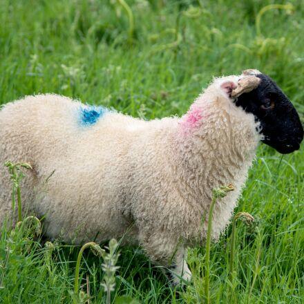 schwarzkopf sheep, sheep, nature, Pentax K-50