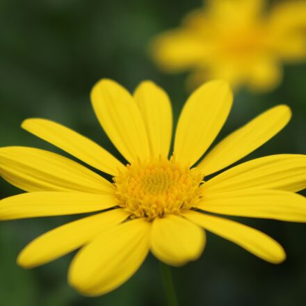 flower, background, the micro, Canon EOS 750D