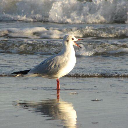 seagull, beach, water, Canon POWERSHOT SX1 IS