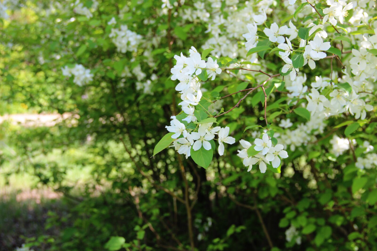 "Canon EOS 600D (Rebel EOS T3i / EOS Kiss X5) sample photo. ""Apple tree, spring, blossom"" photography"