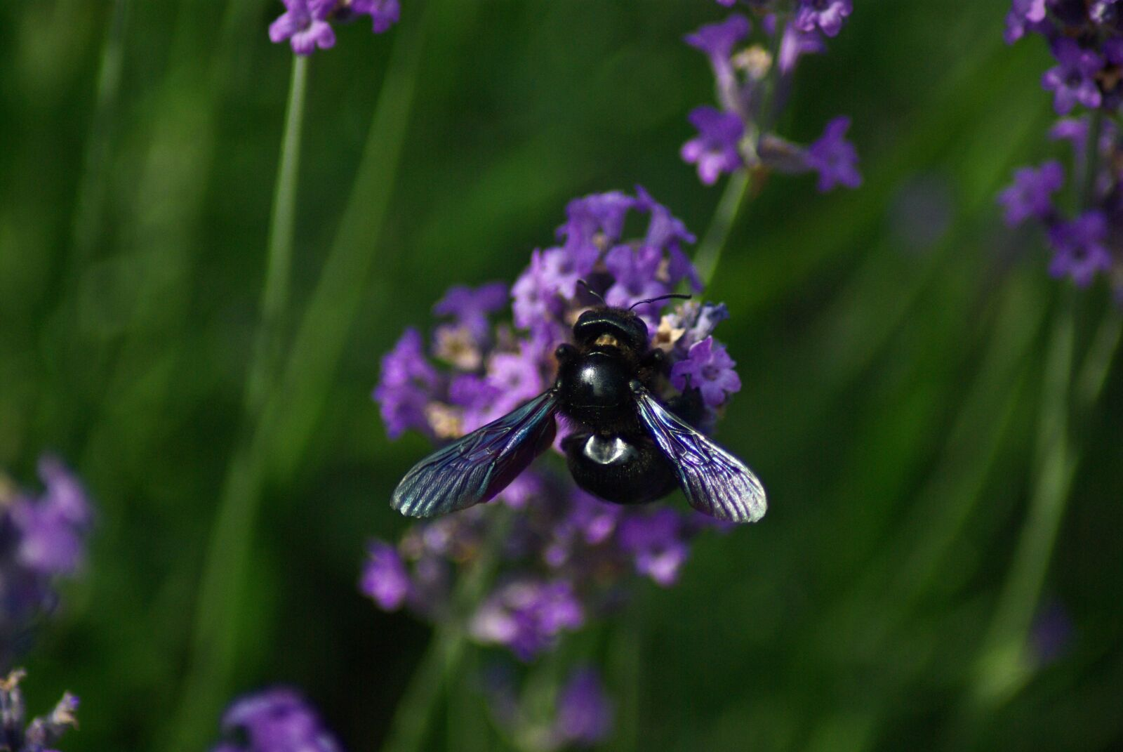 "Pentax K10D sample photo. ""Bourdon, flower, violet"" photography"