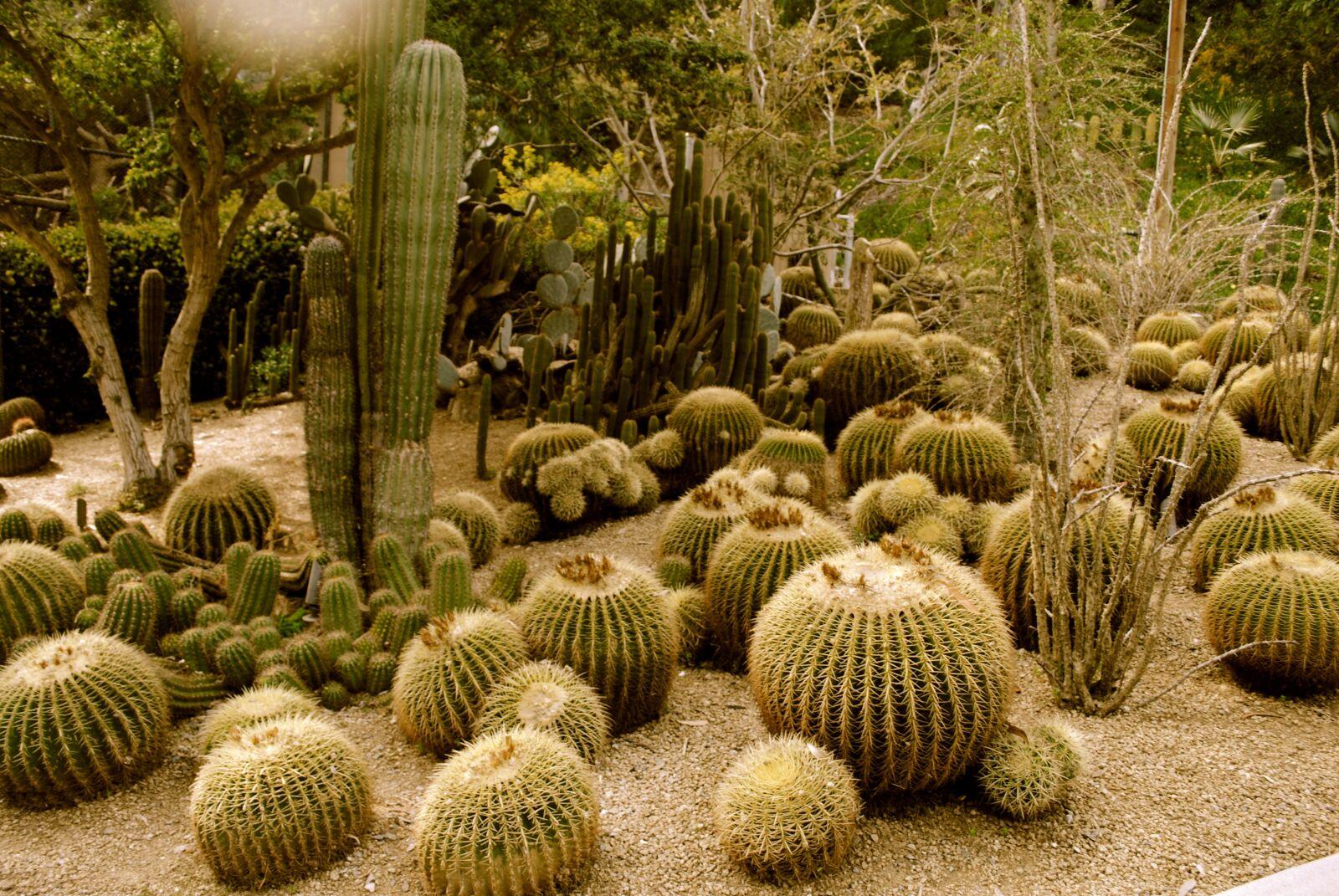 "Nikon D3000 sample photo. ""Cactus, cacti, desert"" photography"