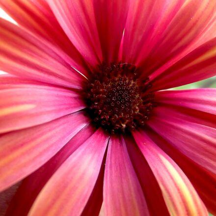 daisy, flower, red, Fujifilm FinePix S2980