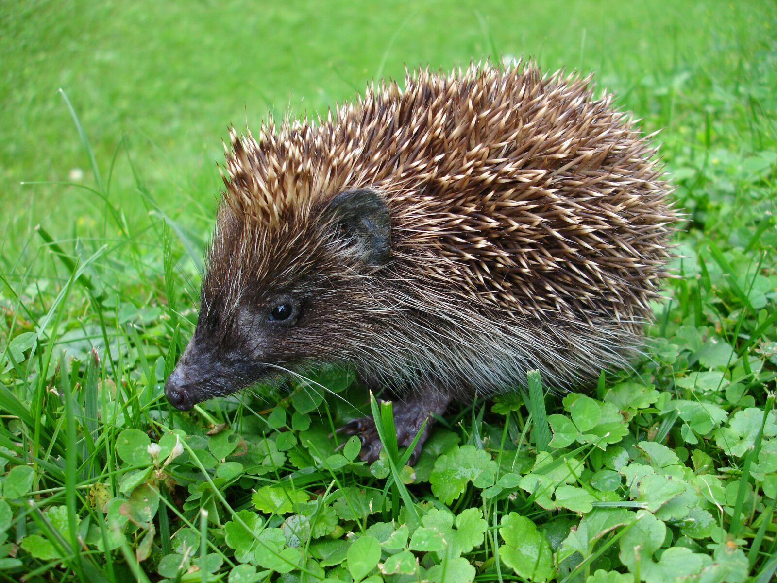 hedgehog, erinaceinae, mammal