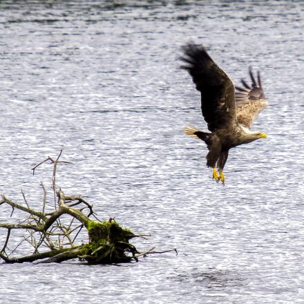 white tailed eagle, adler, Olympus E-5