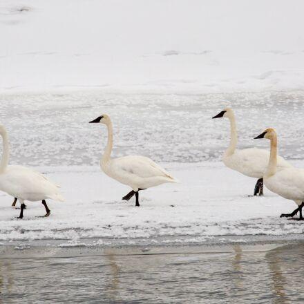 trumpeter swans, snow, winter, Canon EOS 5D MARK III