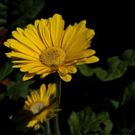 daisy, yellow, macro, Pentax K-X
