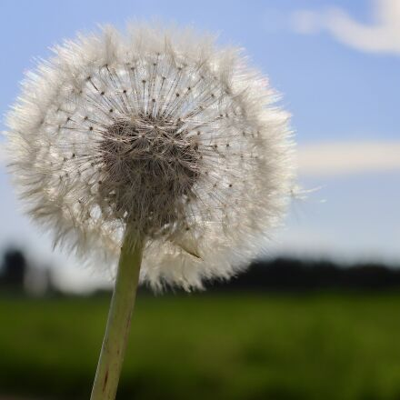 dandelion, pointed flower, blossom, Canon EOS M50