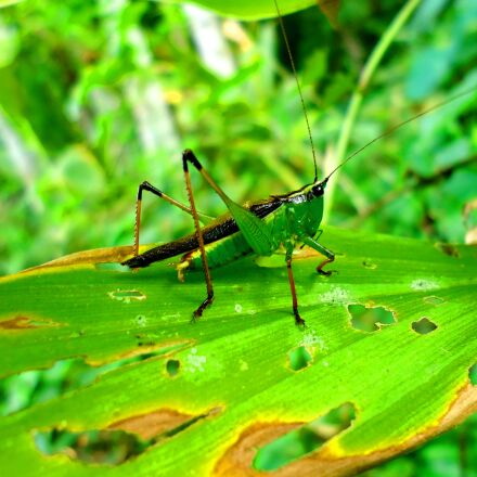grasshopers, leaf, nature, Sony DSC-W610