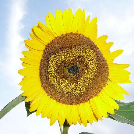 sun, flower, yellow, Panasonic DMC-TZ2