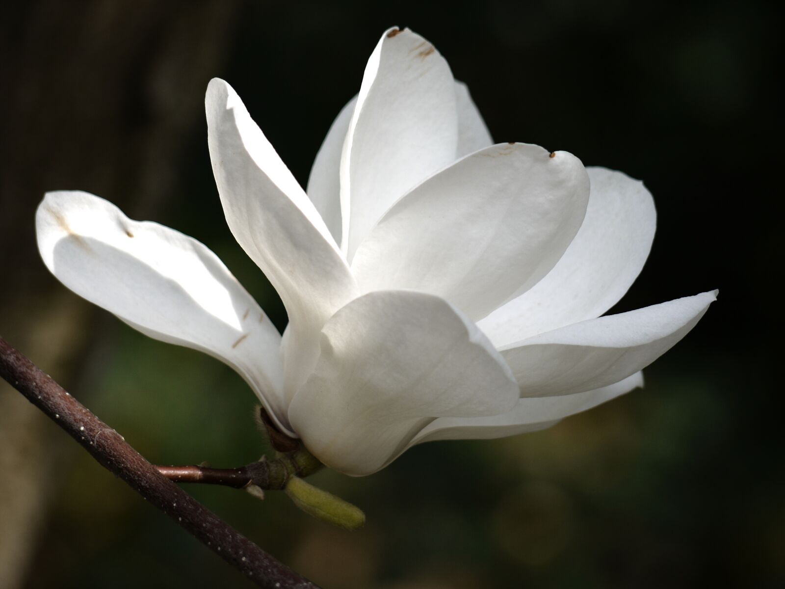 flower, white, magnolia