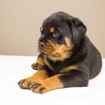 rottweiler, puppy, sweet, Canon EOS-1D MARK IV