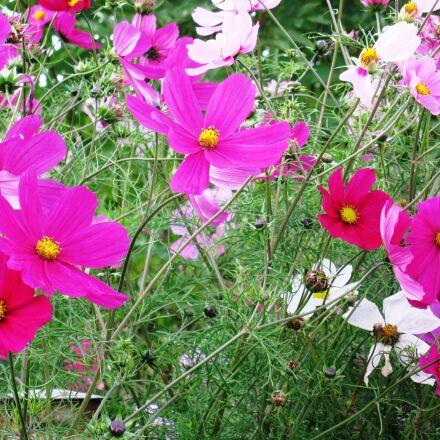 cosmea, flowers, purple, Canon POWERSHOT A2000 IS