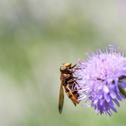 hoverfly, forage, pollen, Nikon D500