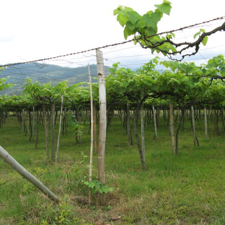 grape, vineyard, wine, winery, Canon POWERSHOT A710 IS