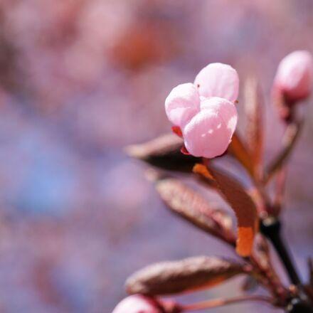 bud, cherry blossom, cherry, Sony ILCE-6000