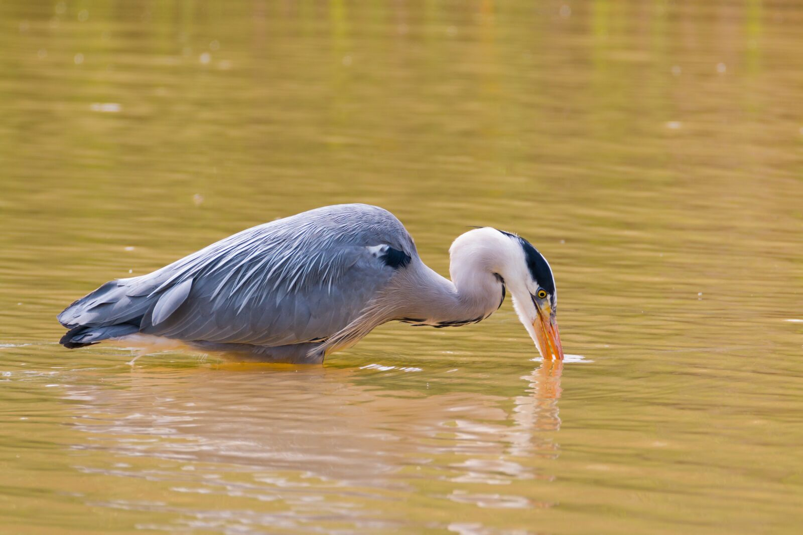 """Canon EOS 70D sample photo. """"Wildlife, water, shallow"""" photography"""