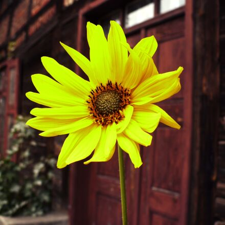 sunflower, old building, poland, Panasonic DMC-LZ6