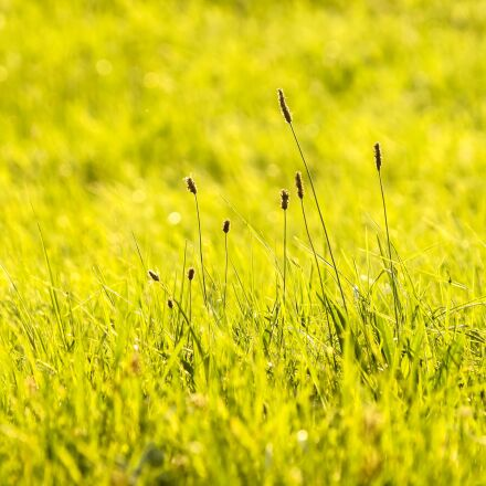 plantain, plant, meadow, Olympus E-5