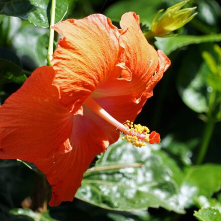 hibiscus, red, mallow, Sony ILCE-7