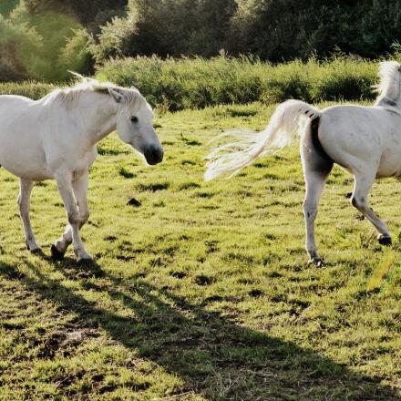 animal, equine, horse, mammal, Nikon D90