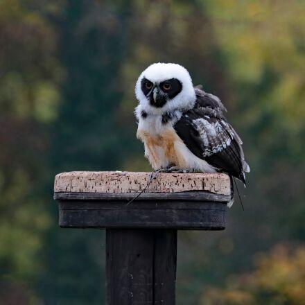 spectacled owl, owl, bird, Canon EOS 7D MARK II