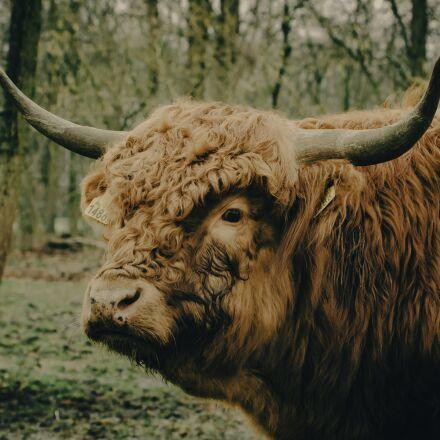 cow, scot, highlander, Canon EOS 40D