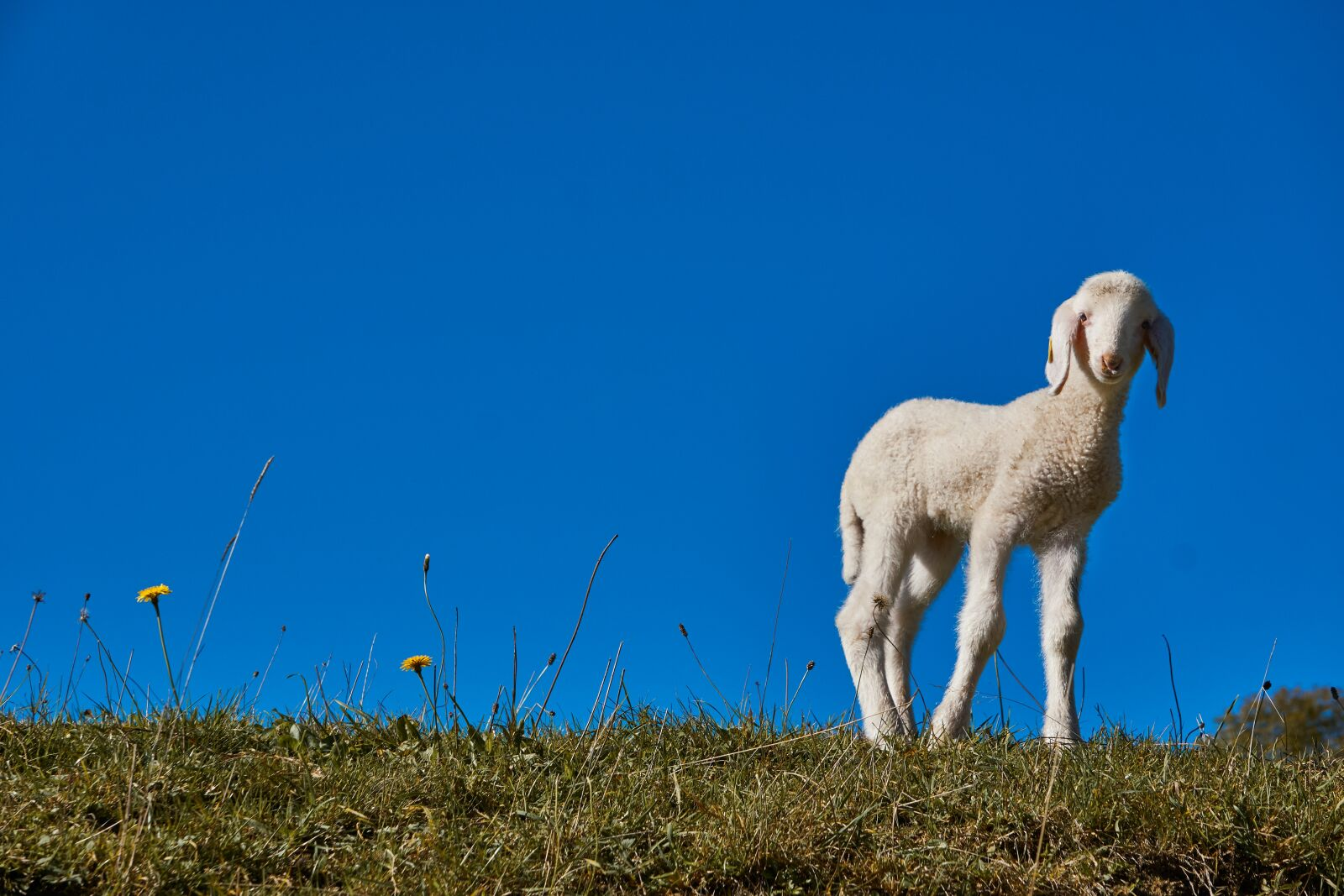 "Sony a6000 sample photo. ""Lamb, easter, sheep"" photography"