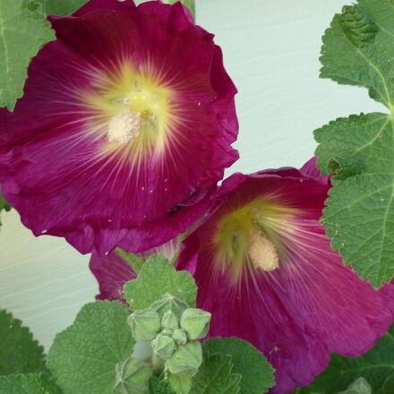 flower, hollyhock, purple, flower, Panasonic DMC-ZS3