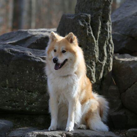 eurasians, dog, animal, Canon EOS 6D