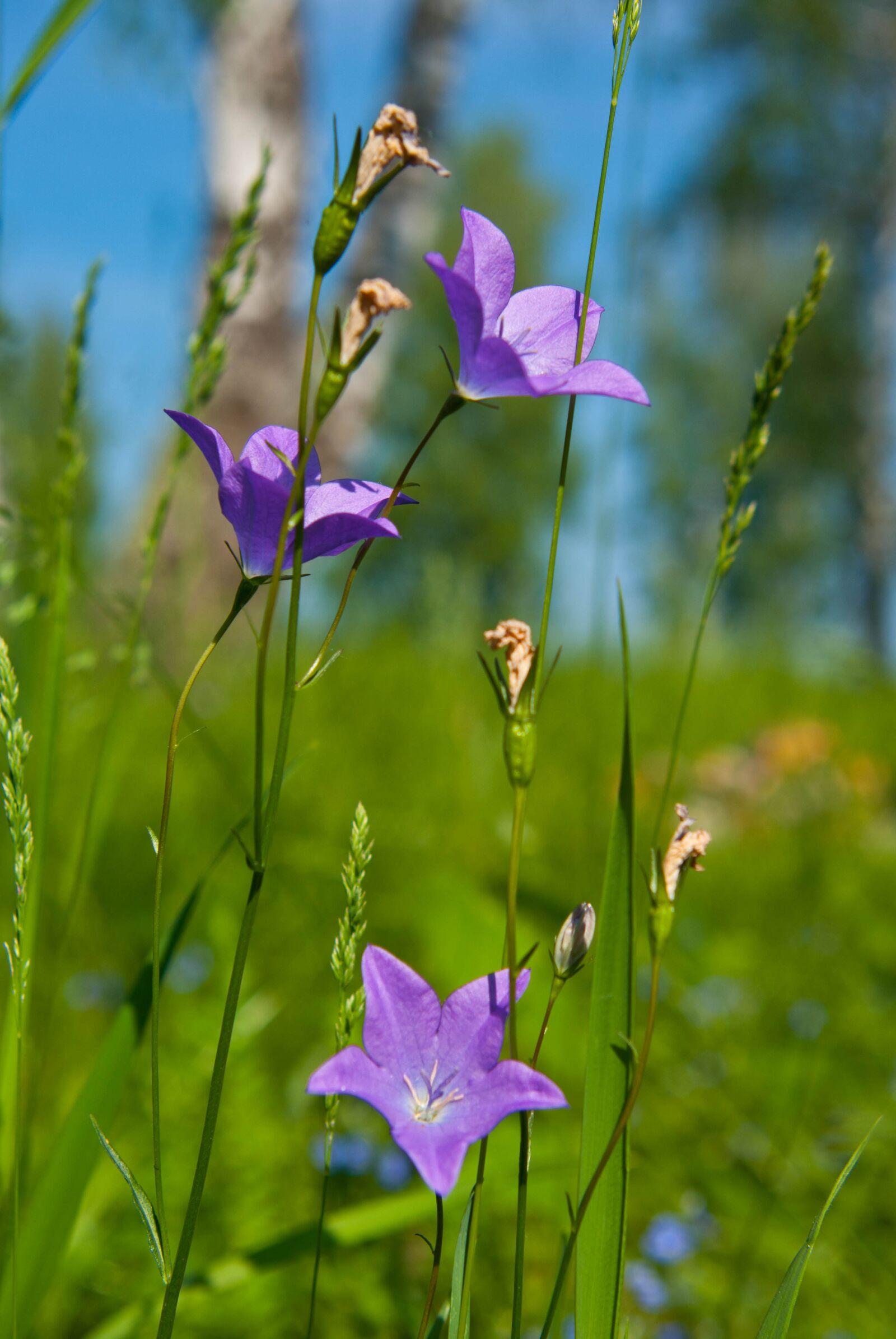 "Pentax K10D sample photo. ""Flowers, summer, plant"" photography"