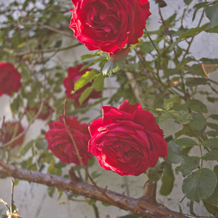 flowers, nature, plant, red, Pentax K-01