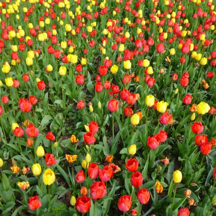 tulip field, spring flowers, Panasonic DMC-FS16