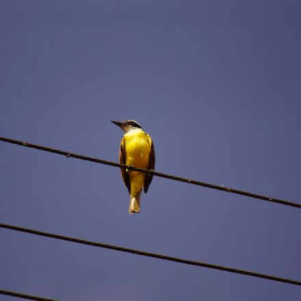 bird, wire, wildlife, Sony SLT-A77V