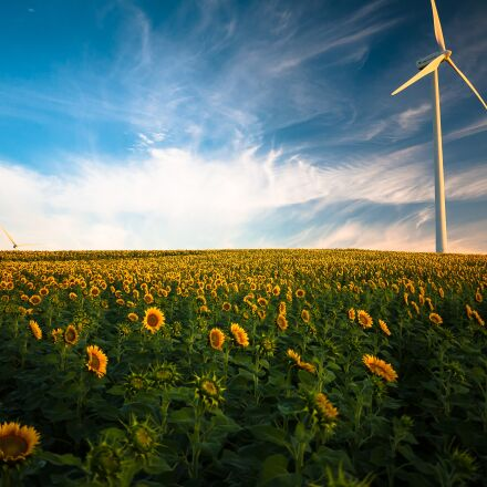 agriculture, sunflower field, wind, Panasonic DMC-GF1
