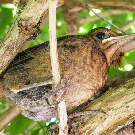 young blackbird, nice, branches, Fujifilm FinePix S8100fd