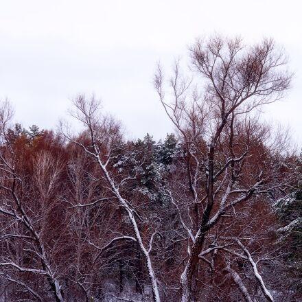 forest, snow, tree, Pentax K-500