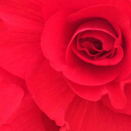 begonia, flower, garden, garden, Fujifilm FinePix F900EXR