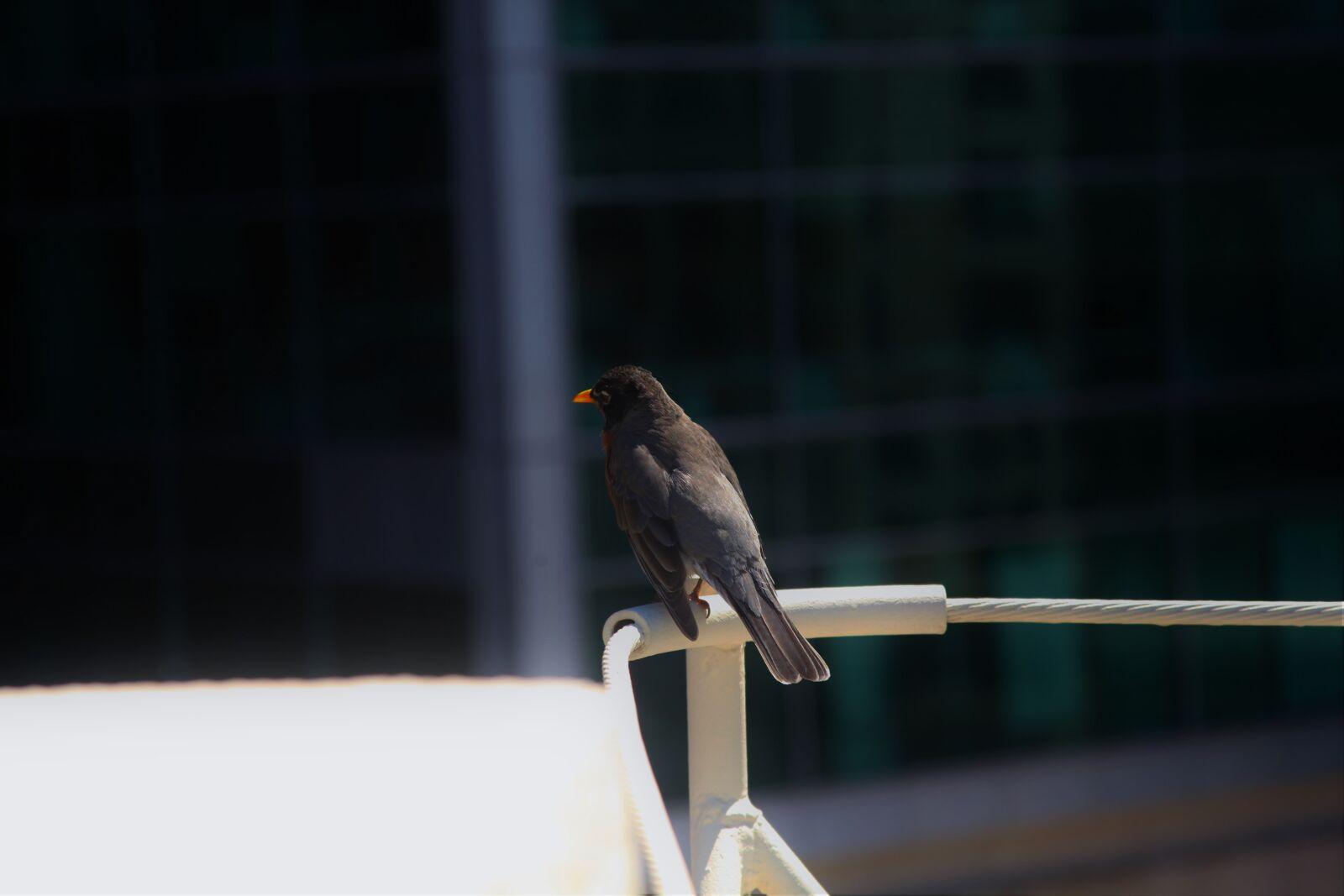 bird, city, wildlife, Canon EOS 5D MARK II, Canon EF 28-135mm f/3.5-5.6 IS