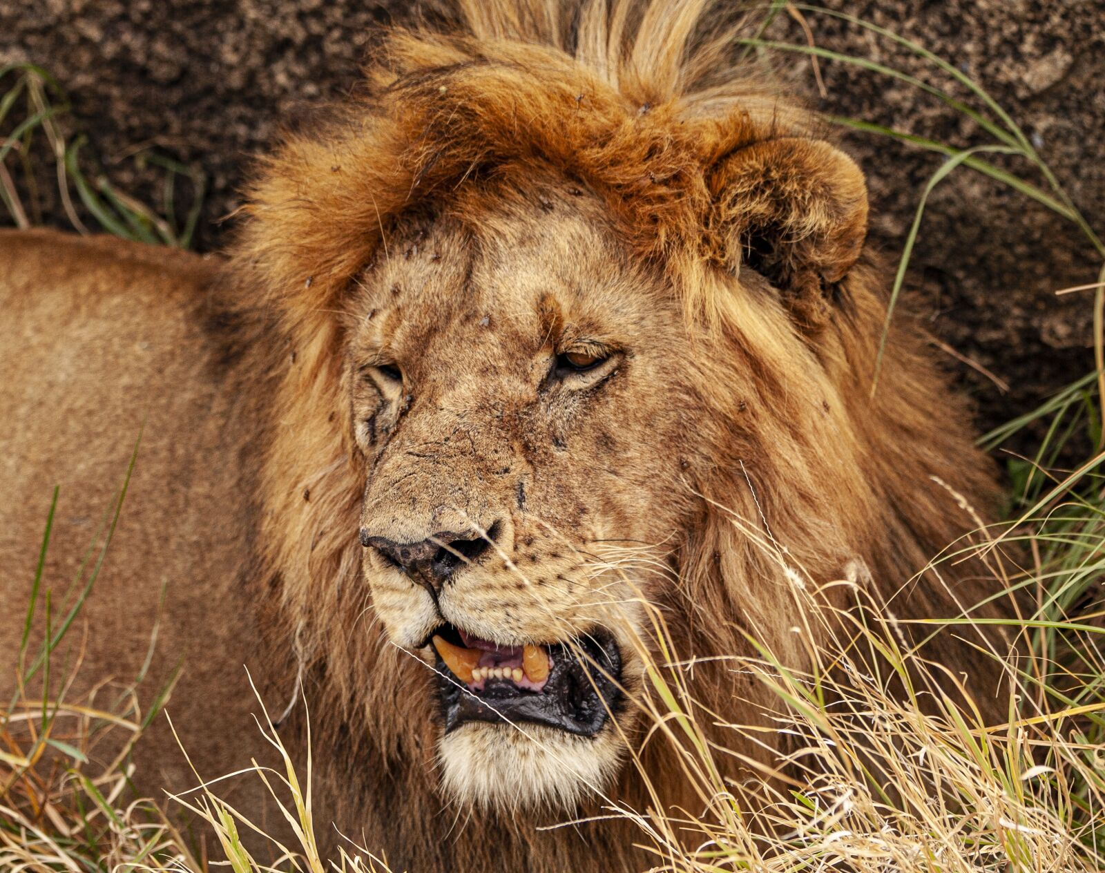 "Canon EOS 5D Mark II sample photo. ""Lion, animal, predator"" photography"