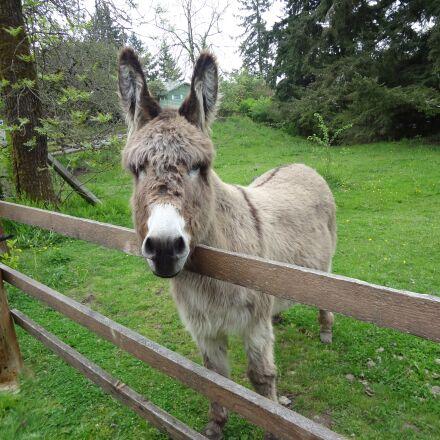 donkey, braying, animal, Sony DSC-WX9