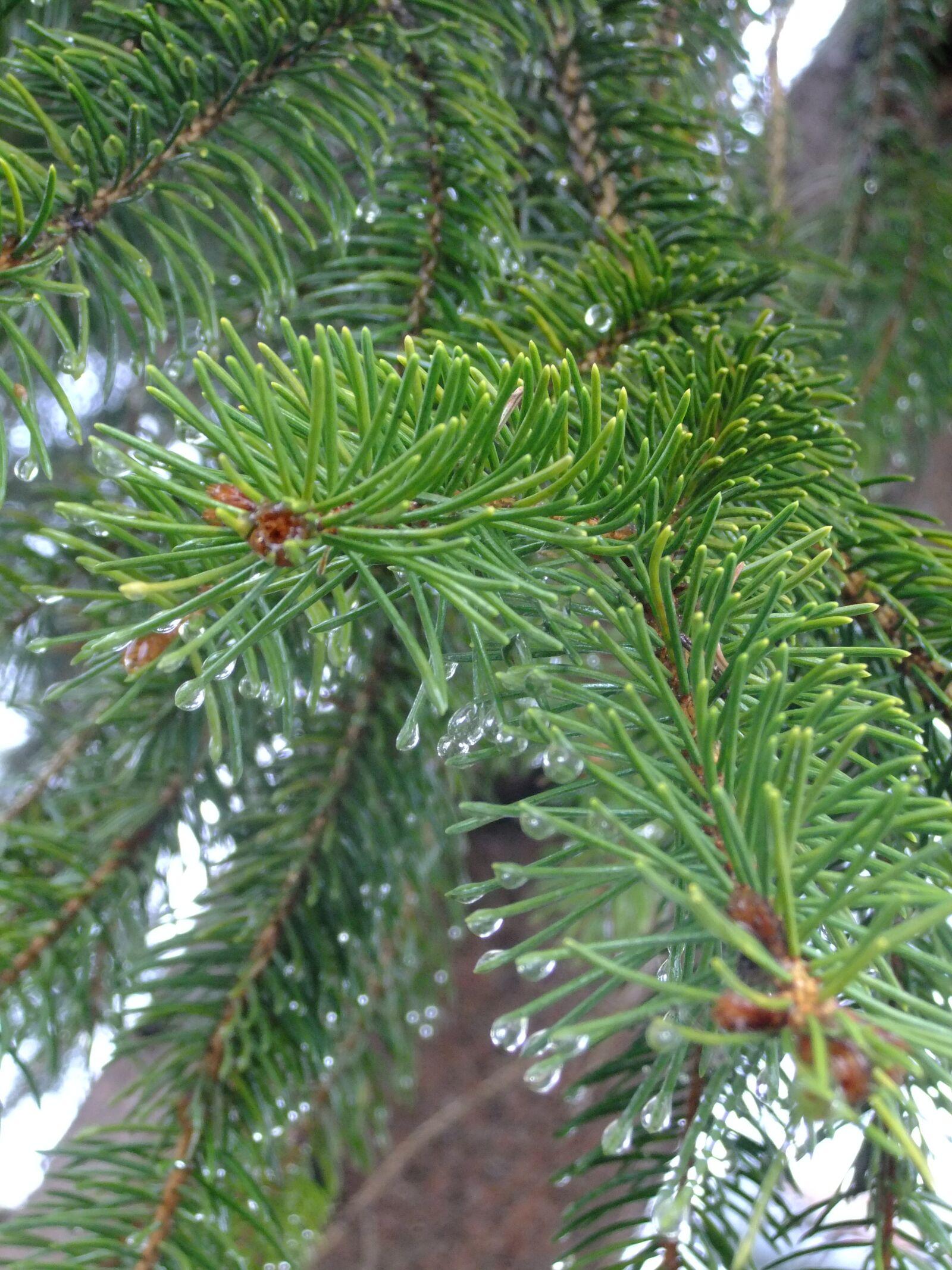 "FujiFilm FinePix JZ500 (FinePix JZ505) sample photo. ""Nature, pine, drop"" photography"