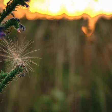 dandelion, fluff, herb, meadow, Nikon D70S