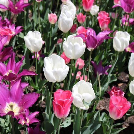 tulips, flower, fresh, Canon EOS REBEL T6I
